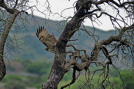 Red Tail Hawk by Roy Bozarth