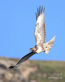 Wingsdomain Art and Photography - Red-Tailed Hawk . 40D10968