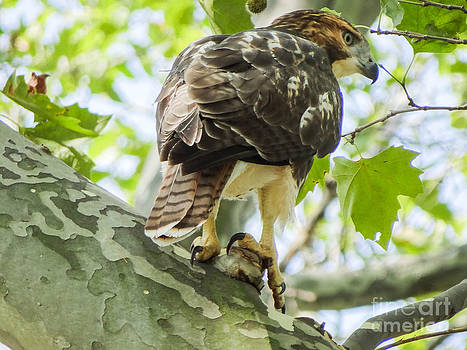 Red Tailed Hawk From The Hawks in Central Park Series by Jeff Landau