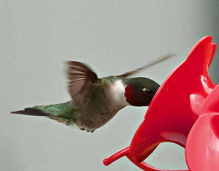Red Throated Hummingbird by Bill Perry