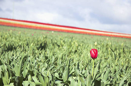 Red Tulip by Alex Hinds