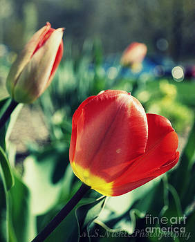 Red Tulip by Melissa Nickle