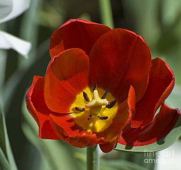 Tim Mulina - Red Tulip
