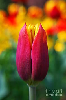 Yhun Suarez - Red Tulip
