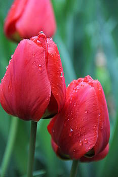 Red Tulips by Jenna Comeau