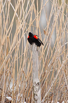 Red Wing Blackbird Photograph - Time to Sing by Light Shaft Images