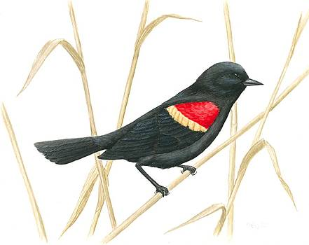 Red-winged Blackbird by Anna Foley