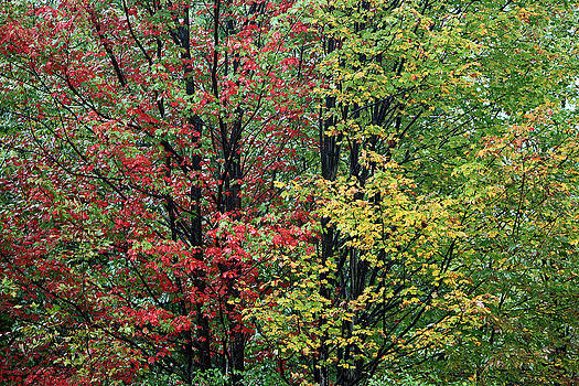 Red Yellow and Green Leaves by Frank Morales Jr