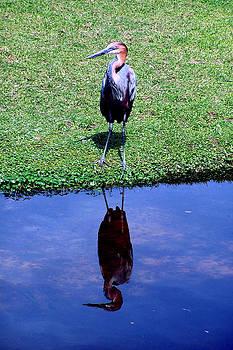 Reddish Egret  by Michelle Harrington