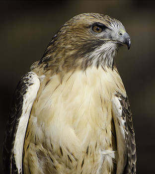 Redtail by Kenneth Eis