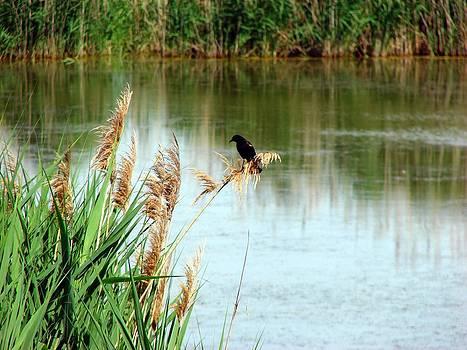 Redwing  Blackbird at Wawanosh Lake by Bruce Ritchie