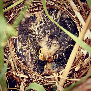 Redwing Blackbird Nestlings by Amy Schauland