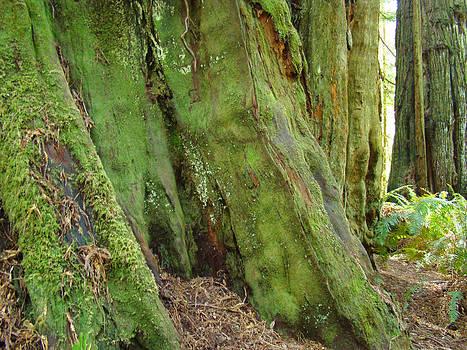 Baslee Troutman - Redwood Tree Trunks art prints California Big Redwoods