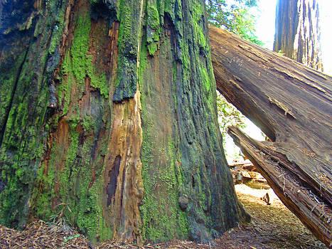Baslee Troutman - Redwood Trees art prints Redwoods Forest Wood