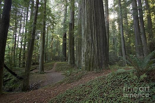 Redwoods by Alexa Gurney