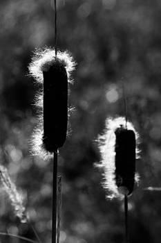 Reed by Jacek Nazim