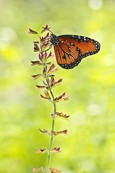 Resting Monarch by Rod Partington