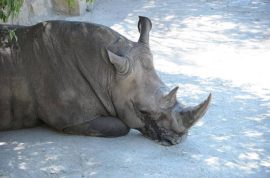 Rhino by Kathy Lewis