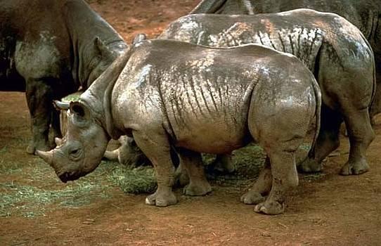 Rhinoceros by Ademola kareem oshodi