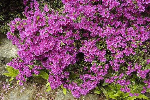 Rhododendron by Matthias Hauser