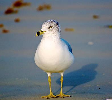 Ring-Billed Gull by Walt Jackson
