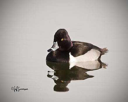 Ring-Necked Duck by Jeff Swanson