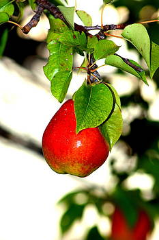 Ripe pear by Rosa Shannon