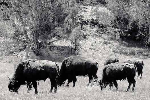 Julie Niemela - Roaming Buffalo Near Zion