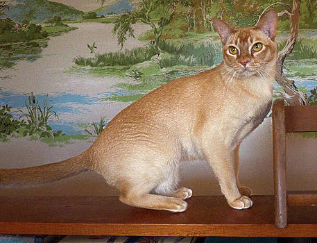 Roary the Red Burmese by Odille Esmonde-Morgan