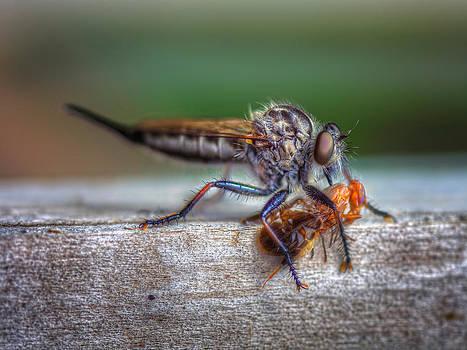 Robber Fly vs Horsefly  by Jenny Ellen Photography