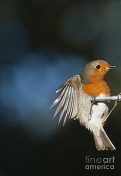 Robin by Andrew  Michael