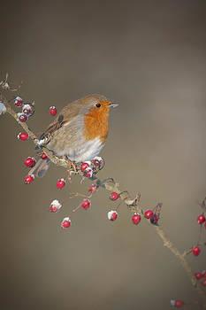 Robin's Berries by Andy Astbury