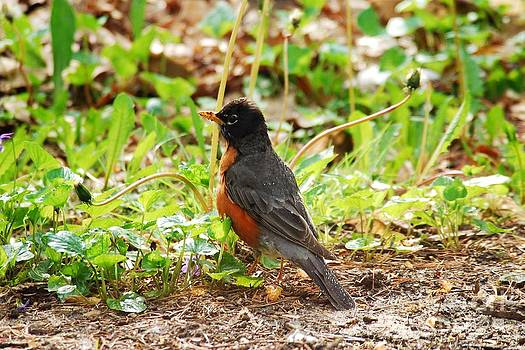 Robins Love Showers by Crissy Sherman