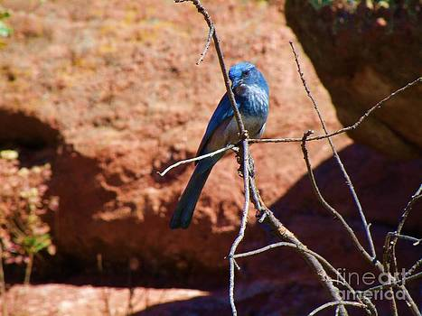 Rocky Mountain Bluebird by Donna Parlow