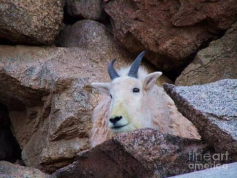 Rocky Mountain Goat by Donna Parlow