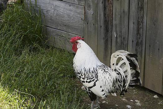 Rooster by Lisa Missenda
