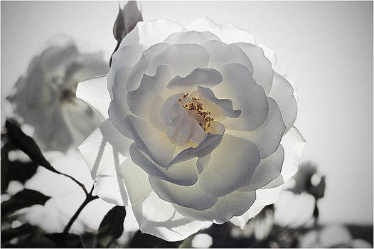 Rosa Blanca 4  final cut by Mirza Ajanovic