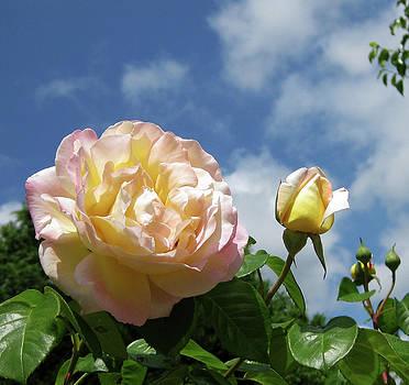 Rosa chinensis by Jason Zhang