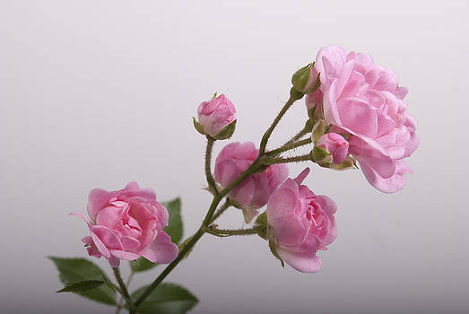 Michael Peychich - Rose 5081