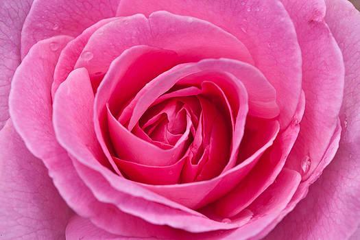 Rose by Alhaji Samura