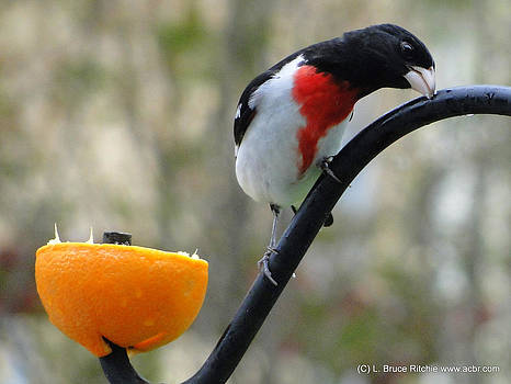 Rose Breasted Grossbeak by Bruce Ritchie