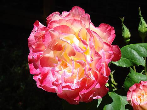 Baslee Troutman - Rose Floral Fine Art Prints Pink Roses Flower