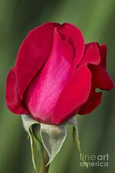 Heiko Koehrer-Wagner - Rose Flower Series 1