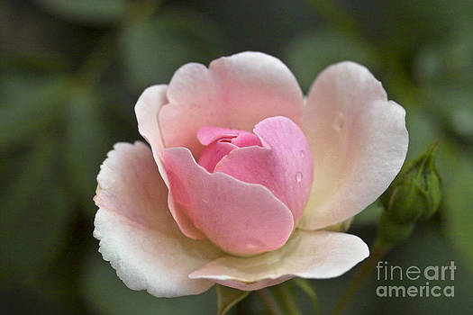 Heiko Koehrer-Wagner - Rose Flower Series 12