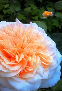 Rose glow by Jaye Crist