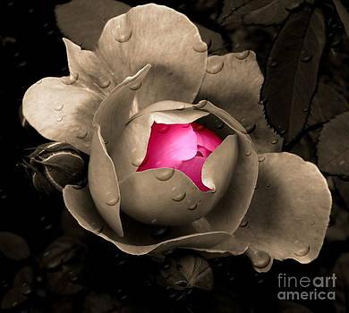 Andrea Kollo - Rose in the Rain