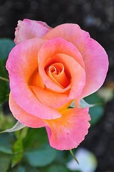 Rose by Jenesse Studios