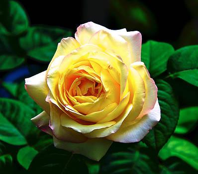 Rose Light by Walt Jackson