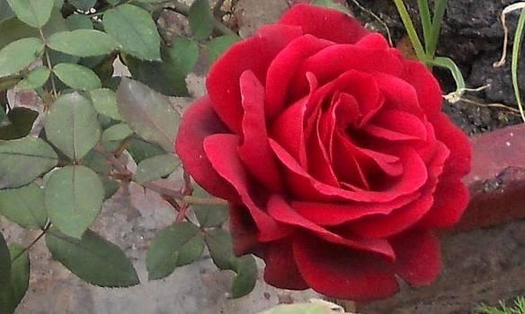 Rose by Mamta Joshi