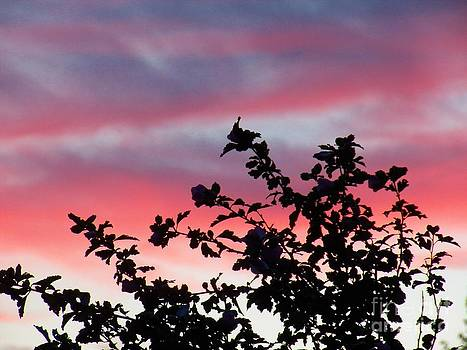 Judy Via-Wolff - Rose of Sharon Sunset